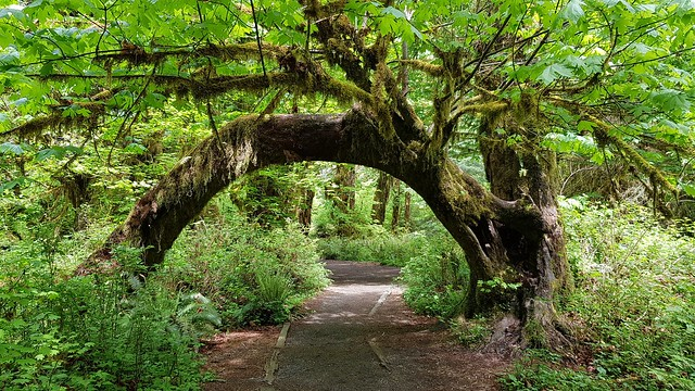 Hall of Mosses Trail, Hoh Rain Forest at Olympic NP,  WA
