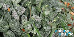Fittonia species