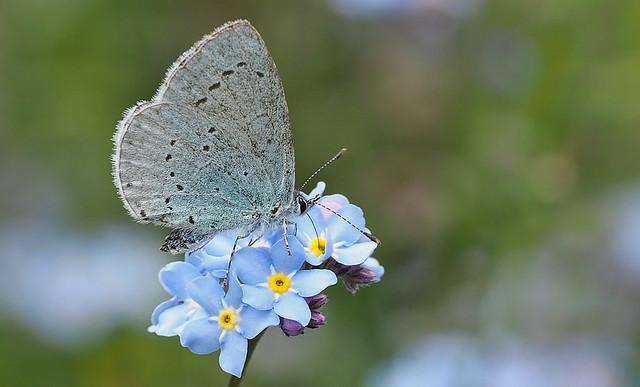 Holly Blue (Celastrina argiolus) male