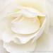 White Rose, 11.14.16