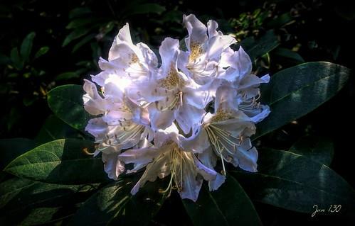 jan130 rhododendron bloom light shade walkswithmarnie flower whiteoralmostwhite stamens petals wyndleypool suttonpark suttoncoldfield westmidlands englanduk ngc npc