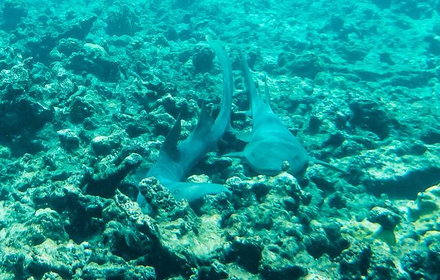 Nurse Sharks Antigua y Barbuda DSC04213