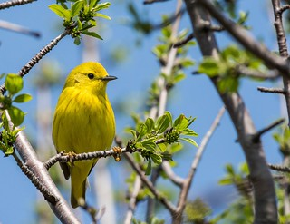 Yellow Warbler | by kevinhaw335