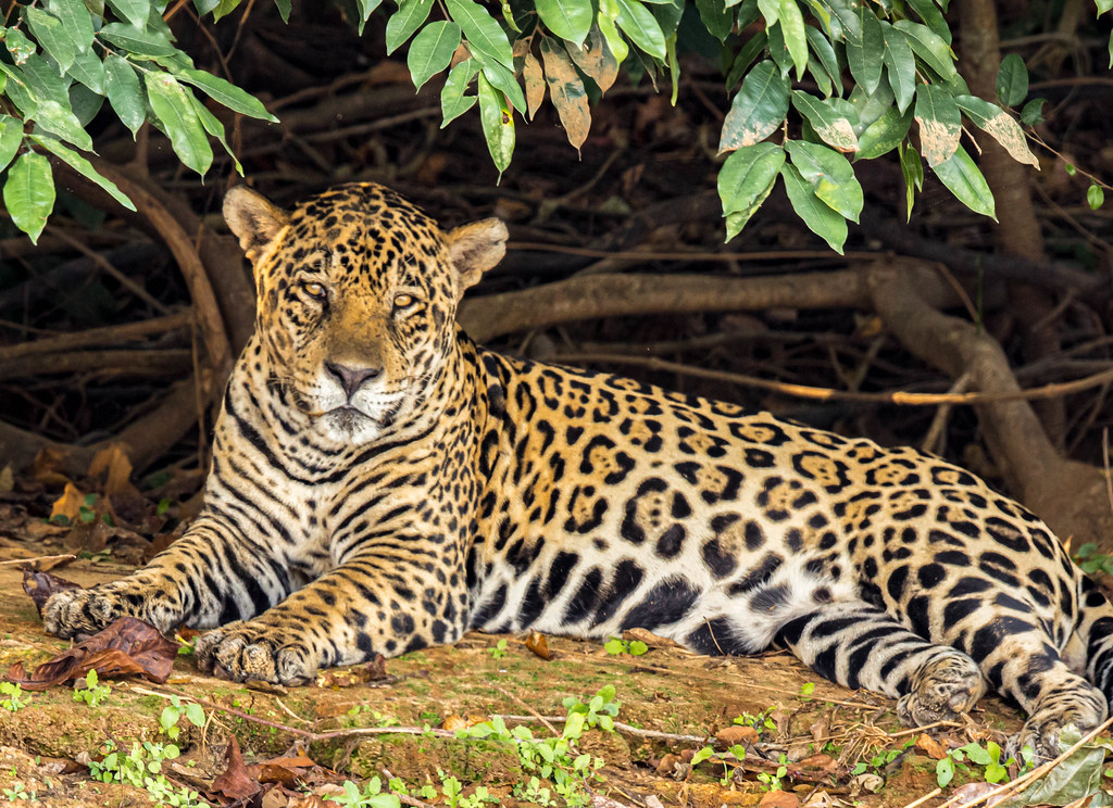 Jaguar resting on the bank of upper Rio Cuiaba, Pantanal, Brazil