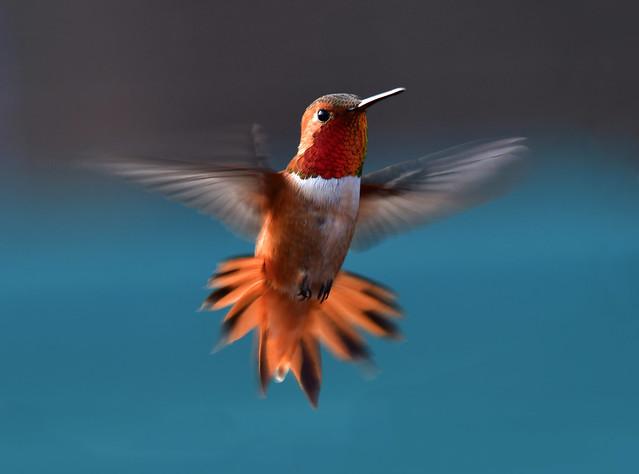 Rufous hummingbird 棕煌蜂鳥