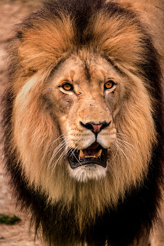 Male Lion-DC 3-0 F LR 4-9-19 J194 | by sunspotimages