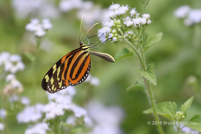 Isabella Longwing Feeding On Small White Flowers