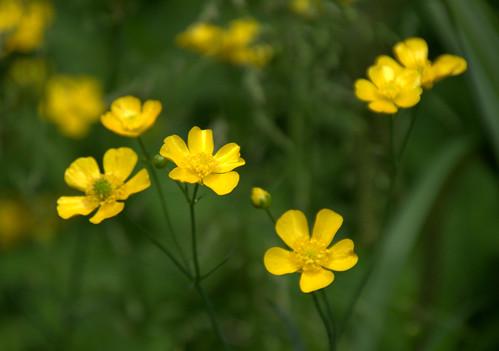 Yellow meadow flowers | by Tony Worrall
