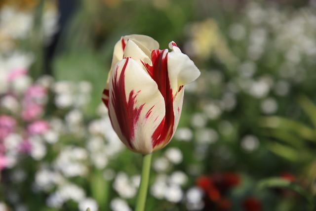 Avril fait la fleur Mai en a l'honneur...