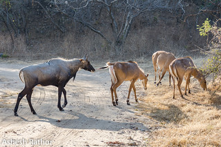 Nilgai | by asheshr