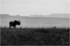 Black Wild beast