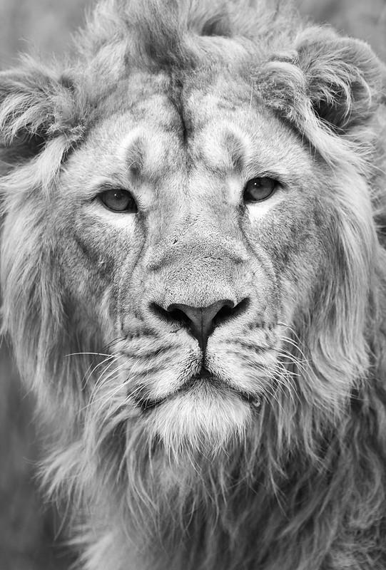 Du lion 33738071998_1c887d8935_c