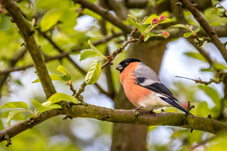 Bullfinch in the garden | by www.andrewswalks.co.uk