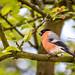 Bullfinch in the garden