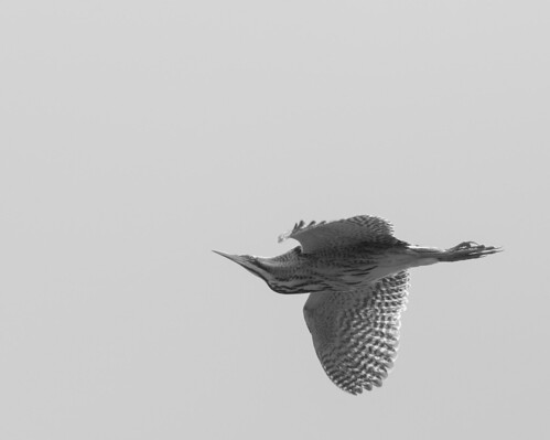 The Bittern | by thethoughtbadger