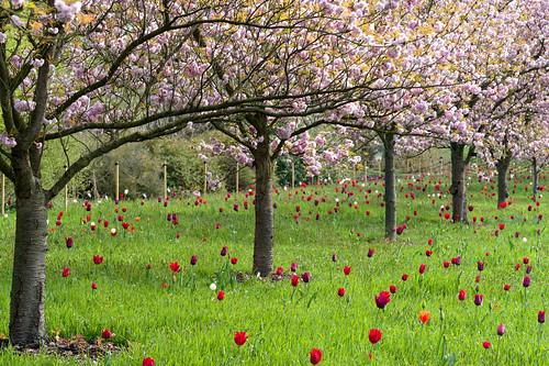 Prunus and tulips | by tonybill