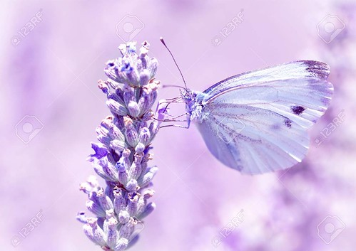 Gentle butterfly on lavender flower | by spirittreecaves