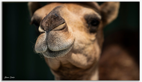 Camels Nose | by Bear Dale