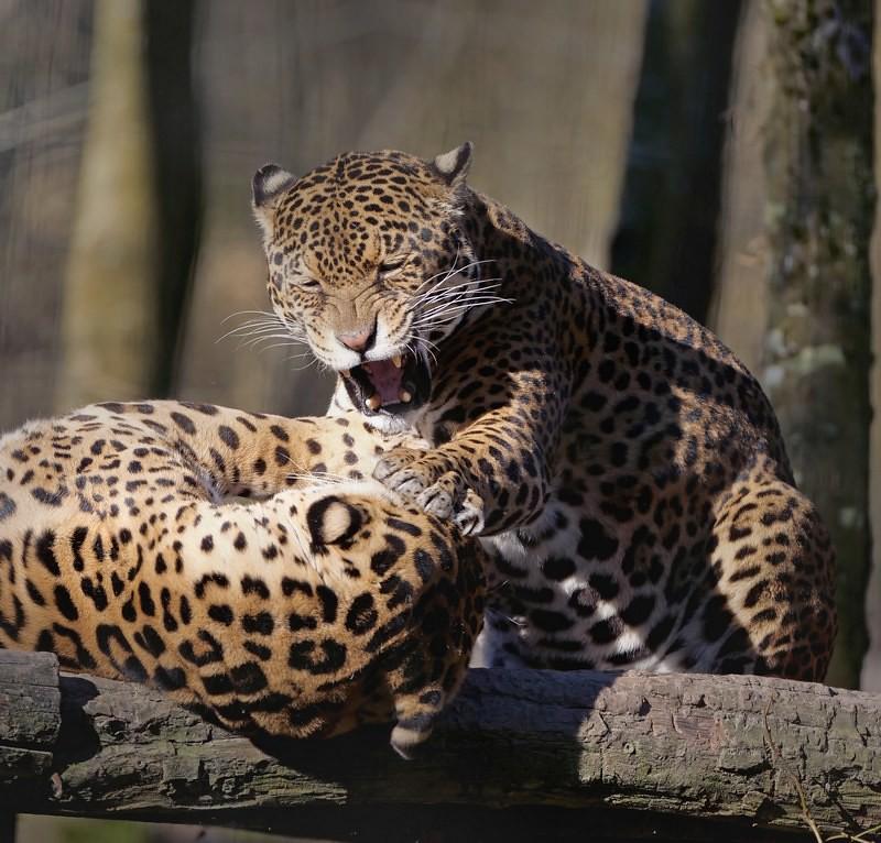 Jaguars  ajout 33747039648_40de2cab40_b