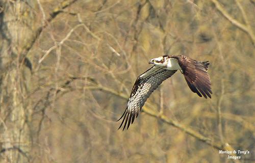 Osprey Intruder