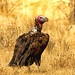 Lappet Faced Vulture