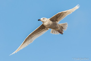 Glaucous-winged Gull (Larus glaucescens) | by Frode Jacobsen