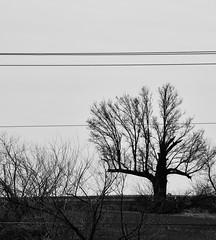 stunted tree 2