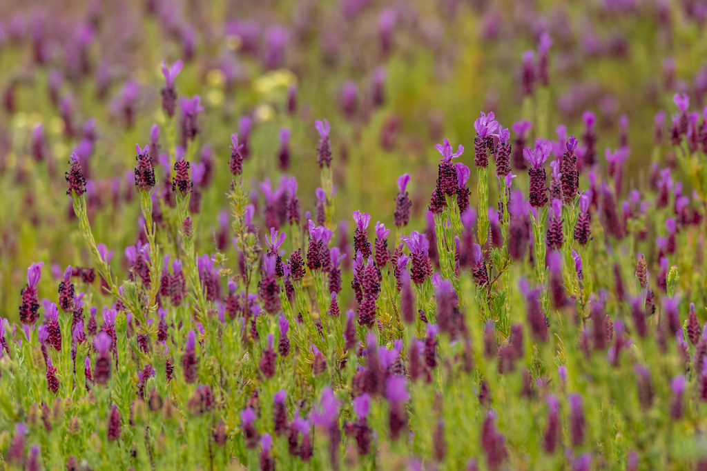 French Lavender In The Algarve Hills
