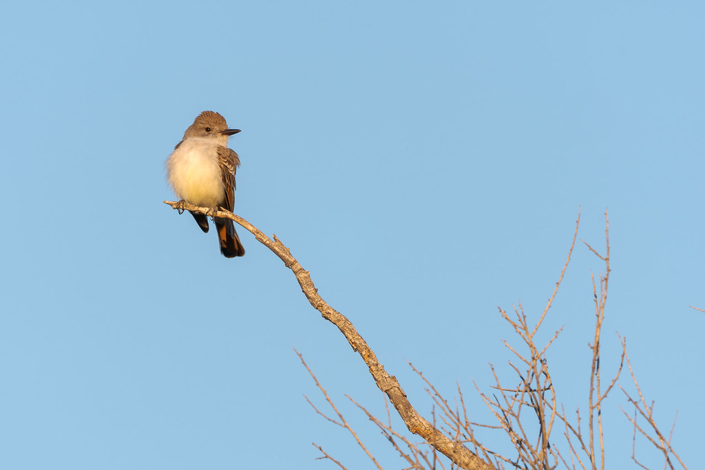 An ash-throated flycatcher perches at the edge of a tree limb early on a spring morning along the Latigo Trail in McDowell Sonoran Preserve in Scottsdale, Arizona