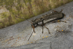 False Darkling Beetle - Osphya bipunctata