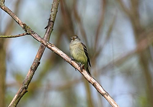 Least Flycatcher, (Empidonax minimus), FOY   by hbvol50