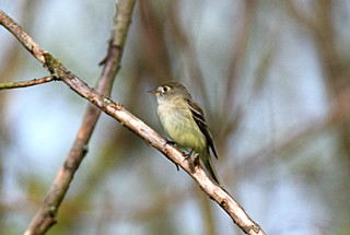 Least Flycatcher, (Empidonax minimus) | by hbvol50