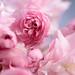Cherry Blossom by pallab seth