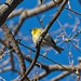 Pine warbler by Goggla