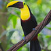 Yellow-throated Toucan Perched On A Thick Vine