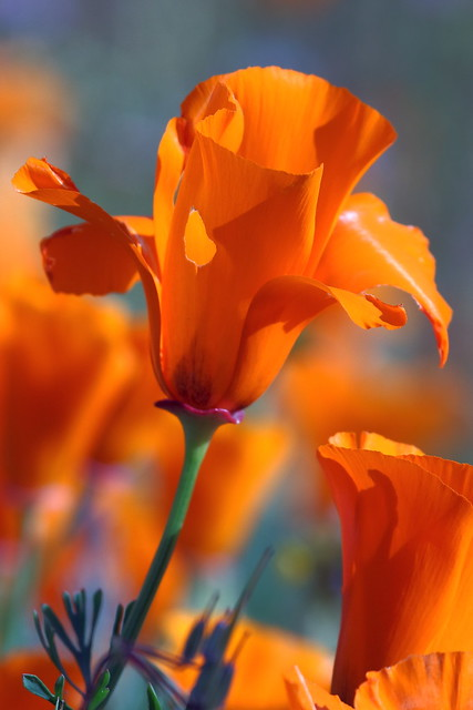IMG_5973 California Poppy (Eschscholzia californica)