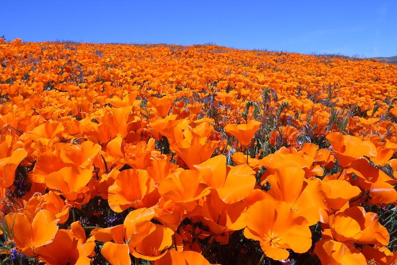 IMG_1026 Field of California Poppy
