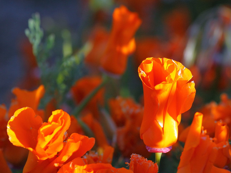 IMG_0158 California Poppy (Eschscholzia californica)