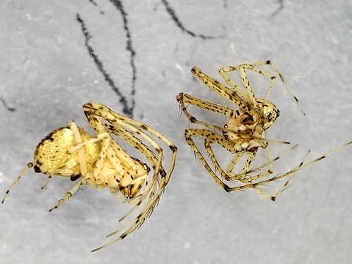 two adult spiders submerged in ethanol under a microscope; their anterior two pairs of legs have long spurs that are apparently adaptations for feeding on other spiders