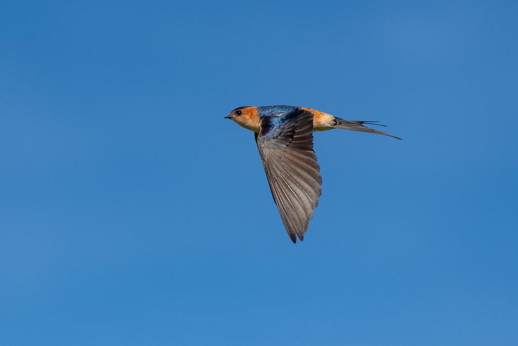 Red-Rumped Swallow - Andorinha-dáurica - Cecropis daurica