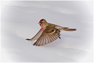 08-Touching the Snow by Bill Ludemann | by Nature Camera Club