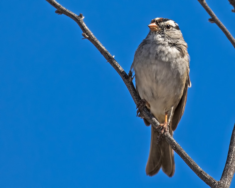 White-crowned-Sparrow-39-7D2-041419
