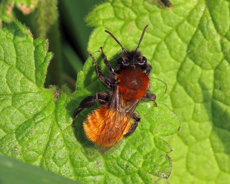 Tawny Mining Bee - Andrena fulva