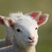 Newborn Lambs Camber_Apr 17 2019_5602_edited-1.jpg