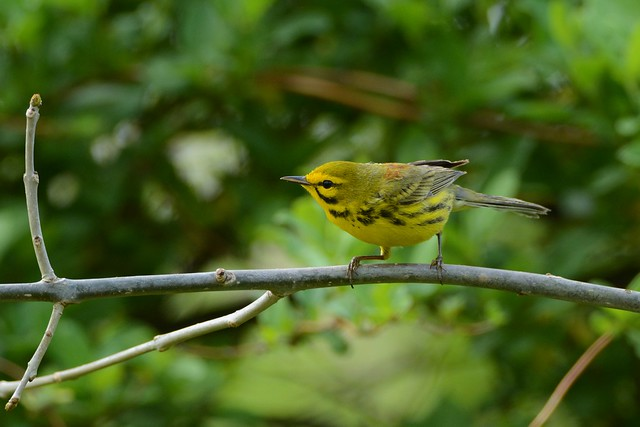 Prairie Warbler male by Jackie B. Elmore 4-18-2019 Lincoln Co. KY