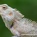 Oriental Garden Lizard (Calotes versicolor) DSD_5957