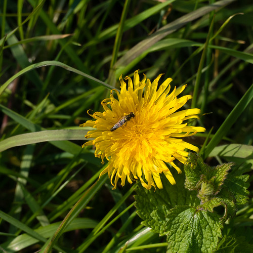 Tiny insect on dandelion