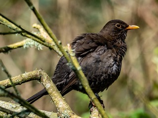 Treebound Blackbird | by dudutrois