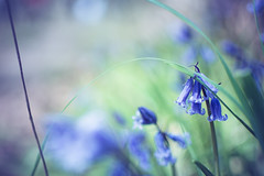 Bluebells in Longwood