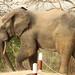 Savanna elephant, Mole Motel, Mole National Park, Ghana